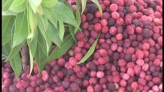 कैंसर जैसी लाईलाज बीमारी से बचाता है यह फल