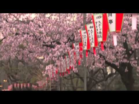 Raw- Cherry Blossoms Open in Japan News Video