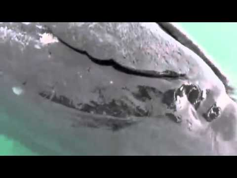 Rare conjoined whales wash up in Baja, California lagoon News Video
