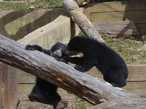 Raw- Andean Bear Cubs Debut at National Zoo News Video