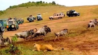 Indecisive Lioness Hunting