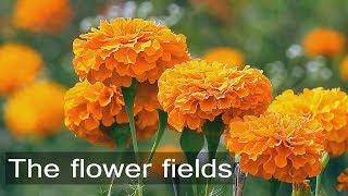 A Beautiful valley of flowers - A day in Gundlupet - Karnataka