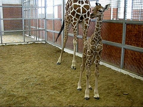 Raw- Dallas Zoo Welcomes Baby Male Giraffe News Video