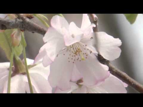 New Yorkers Celebrate Cherry Blossom Blooms News Video