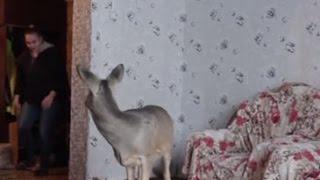 Injured baby deer now beloved family pet