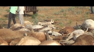 गौशाला में तूफान का तांडव, 35 गायों की दर्दनाक मौत