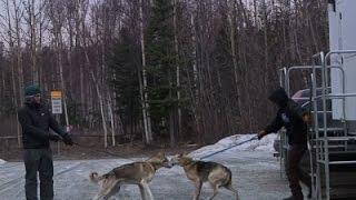 Low Snow Causes Havoc Again with Iditarod News Video