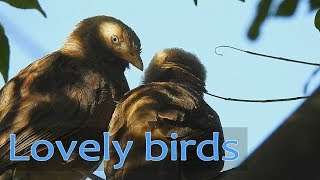 The lovely Birds - close actions of Yellow-billed Babbler