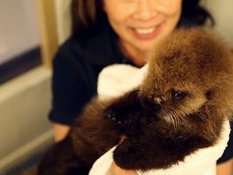 Raw- Baby Otter Takes Dip at Chicago Aquarium News Video