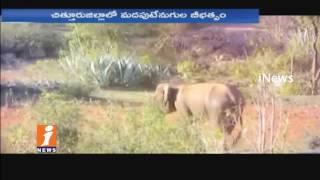 Elephants Gang Hulchul In Chittoor   Destroys Crops   iNews