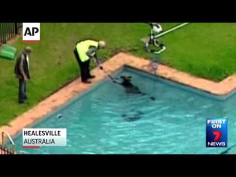 Raw- Kangaroo Rescued From Swimming Pool News Video