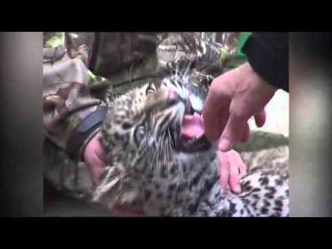 Raw- Putin Visits Persian Leopards Sanctuary News Video