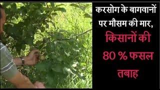 करसोग के बागवानों पर मौसम की मार, किसानों की 80 % फसल तबाह