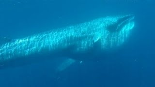 Scientist Captures Rare Video of Omura's Whales News Video
