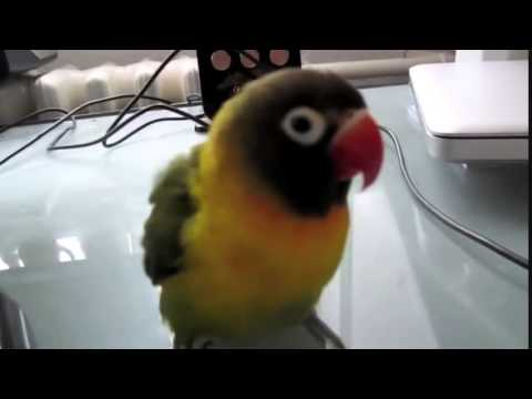 Funny Animals - Funny Parrot - Funny Video the best 2015