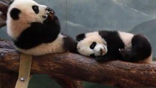 Atlanta Zoo panda twins reach adorable milestone