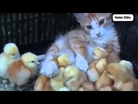 Funny Animal   Cats Adopting Baby Birds Compilation - Cats 2015
